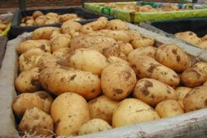 На субботней ярмарке в Каменске-Уральском цену на картофель ограничили 20 рублями за килограмм
