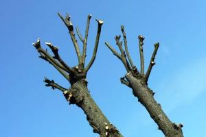 Почти сто больных деревьев в Каменске-Уральском срубят. Примерно столько же обрежут. Точные адреса, где пройдут работы