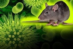 В Каменске-Уральском поймали мышь, у которой выявили геморрагическую лихорадку с почечным синдромом