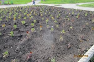 Воровство цветочной рассады с муниципальных клумб в Каменске-Уральском продолжается. На этот раз… 540 корней